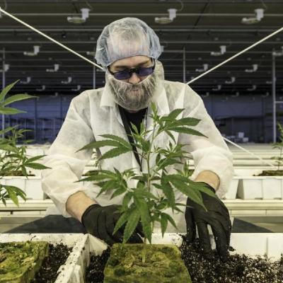 """USA: crescono i """"cannabis job"""" mentre si prepara la legalizzazione federale"""