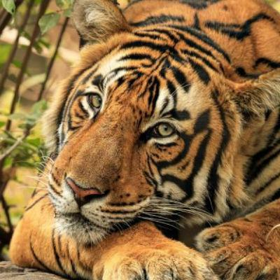 Tiger Conservation & Cartography; mapping protected areas for the most endangered species in the world.