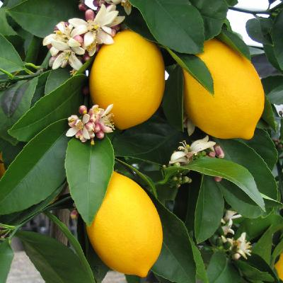 Citrus Trees and All Things Bees