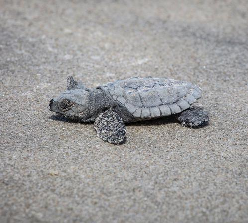 How 96 rare sea turtle hatchlings survived a NY City summer