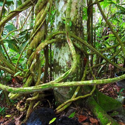 Vine of Amazon Jungle - Ayahuasca Retreat & Research Center