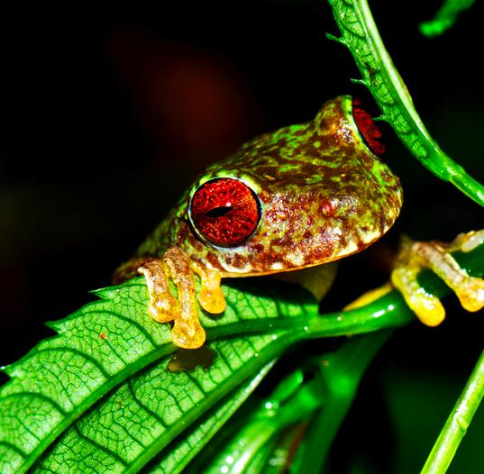Racing to save the world's amazing frogs