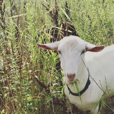 Let's Goat  Buffalo - Changing the Landscape, One Bite At a Time
