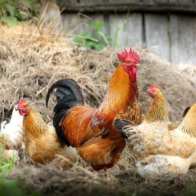 Joel Michalec Show 112: Poultry In Motion