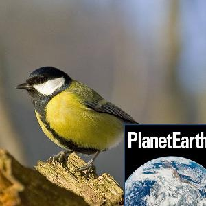 Avian pox in UK great tits, top conservation issues - Planet Earth Podcast - 13.01.22