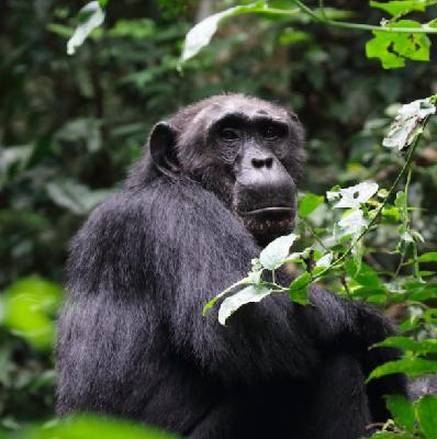 Great ape forest gardeners of Africa benefit from big conservation victory