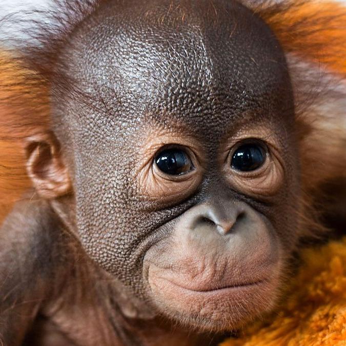 Óleo de palma mata orangotangos?