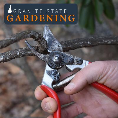 Pruning, Topping & Staking Trees & Shrubs, plus Witch Hazel Appreciation