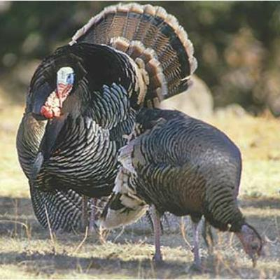 Episode 8 (April 2021) Talkin' Turkey - How to Call Spring Gobblers