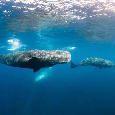 WILD BITES: How does a sperm whale survive the crushing depths a mile underwater?