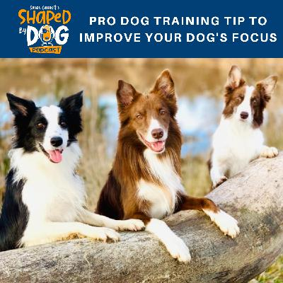 Pro Dog Training Tip To Improve Your Dog's Focus