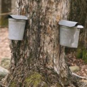 Nature Notes Episode 5: Maple Syrup Time!