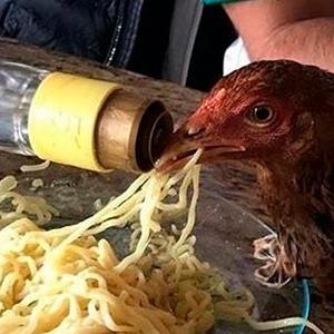 Jovens serão investigados por dar pinga a uma galinha em Marília-SP