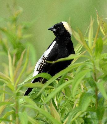 Episode 13: Spring in the Capitol, the Sylvian Chorus, Bluebirds, Robins, Snowbirds, Meadowlarks, Sparrows and Crows