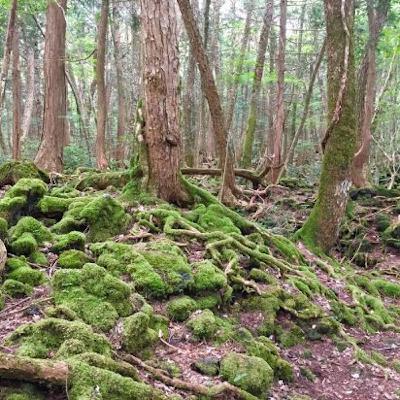 Aokigahara, la plus étrange des forêts du monde