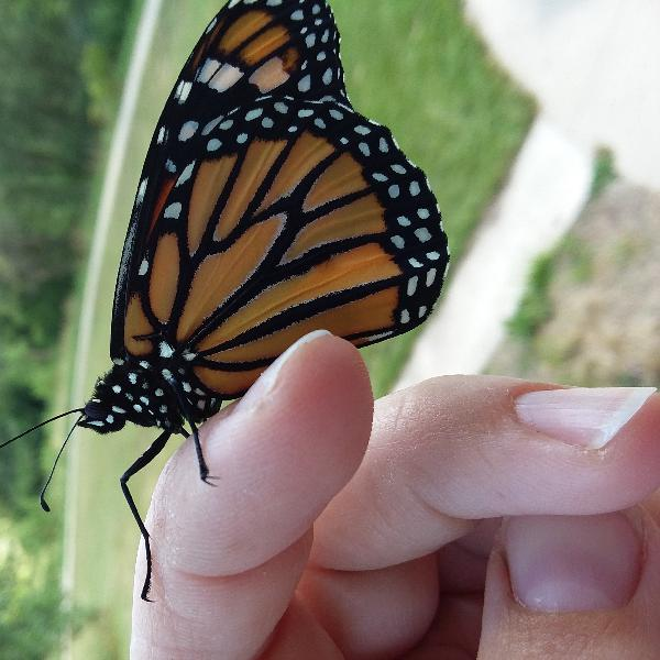 Nature Notes Episode 9 : Meet Cecilia Hagen and Monarchs
