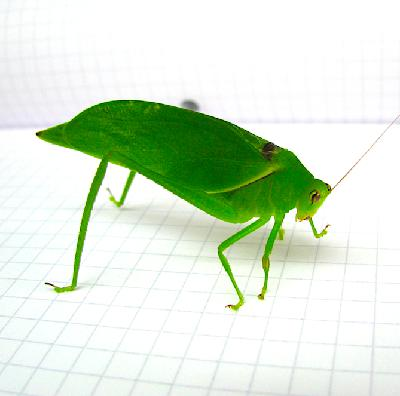 How the sweet sounds of tropical katydids can benefit rainforest conservation