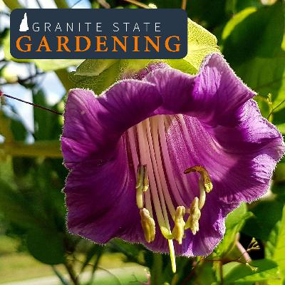 Vines in Northeast Gardens and Landscapes